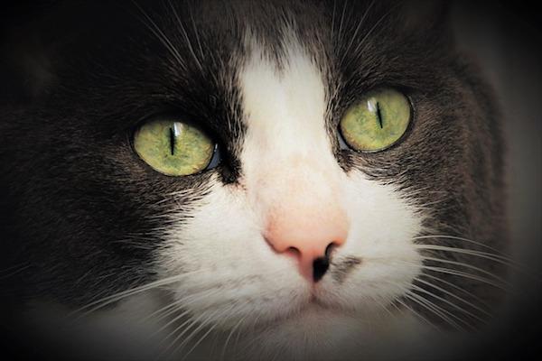 gatto sguardo dolce