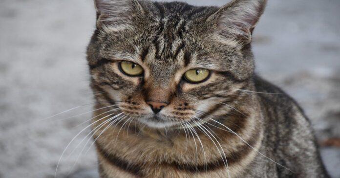 gatto insufficienza renale-dieta casalinga