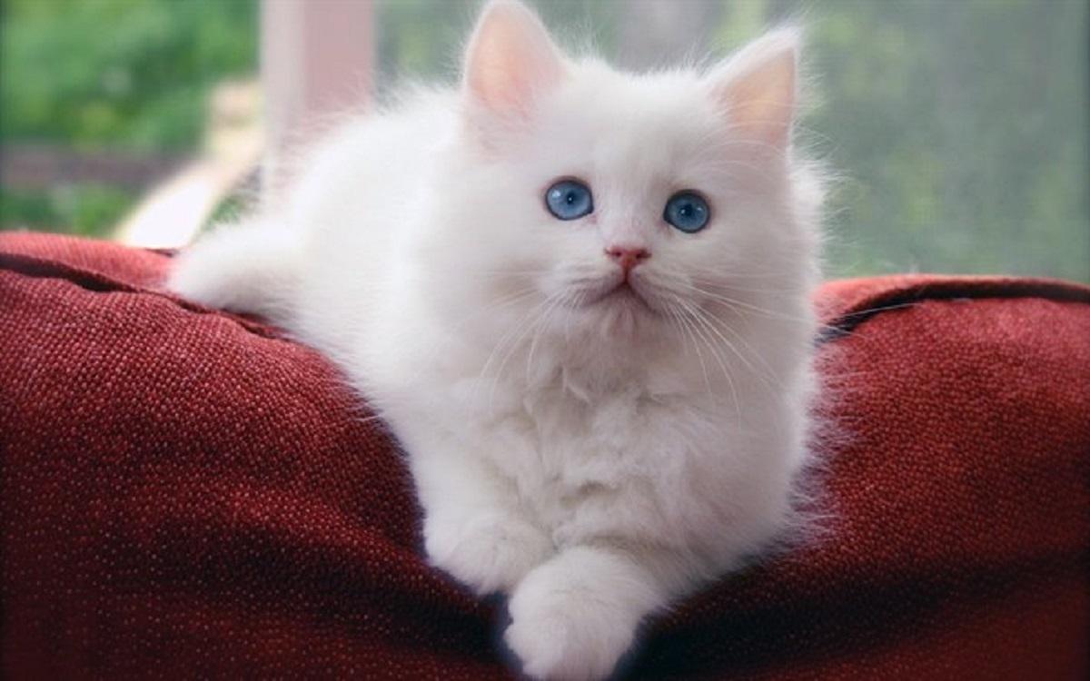 cucciolo di gatto siberiano bianco
