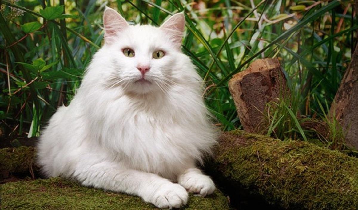 gatto norvegese bianco