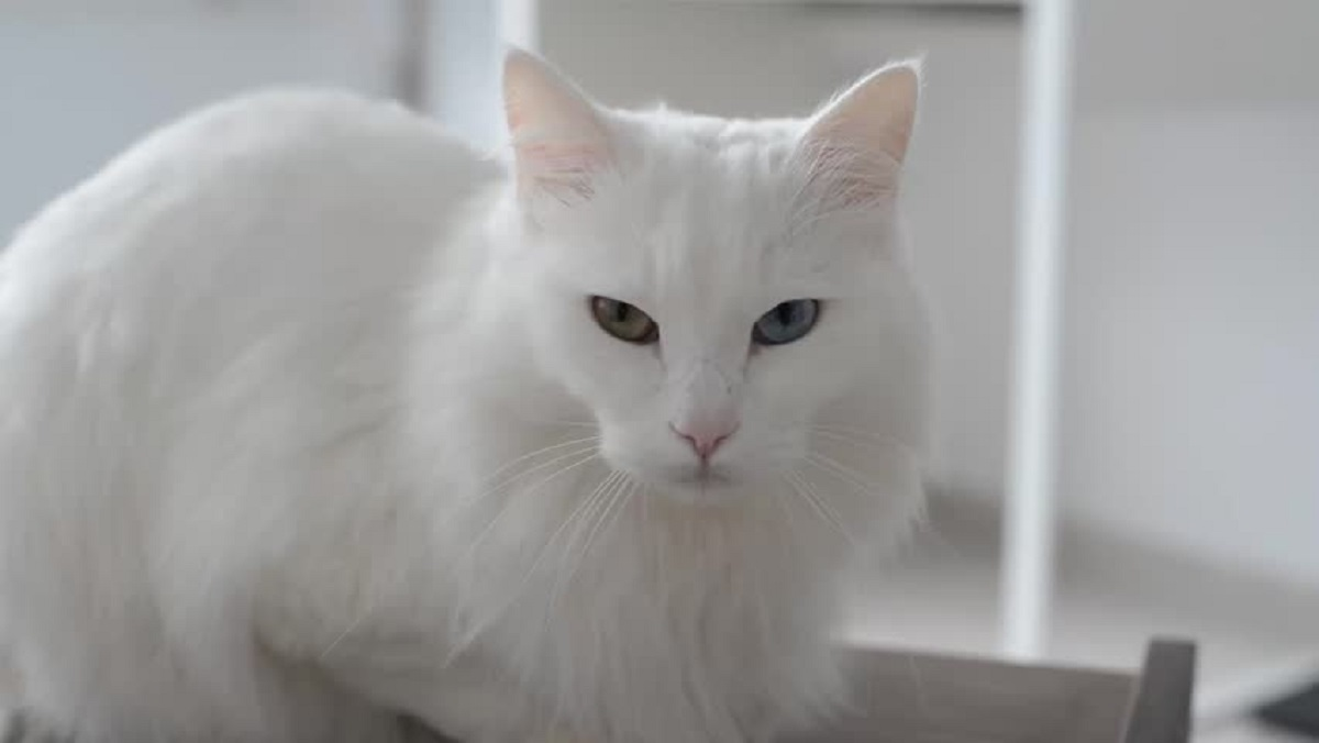 angora turco bianco