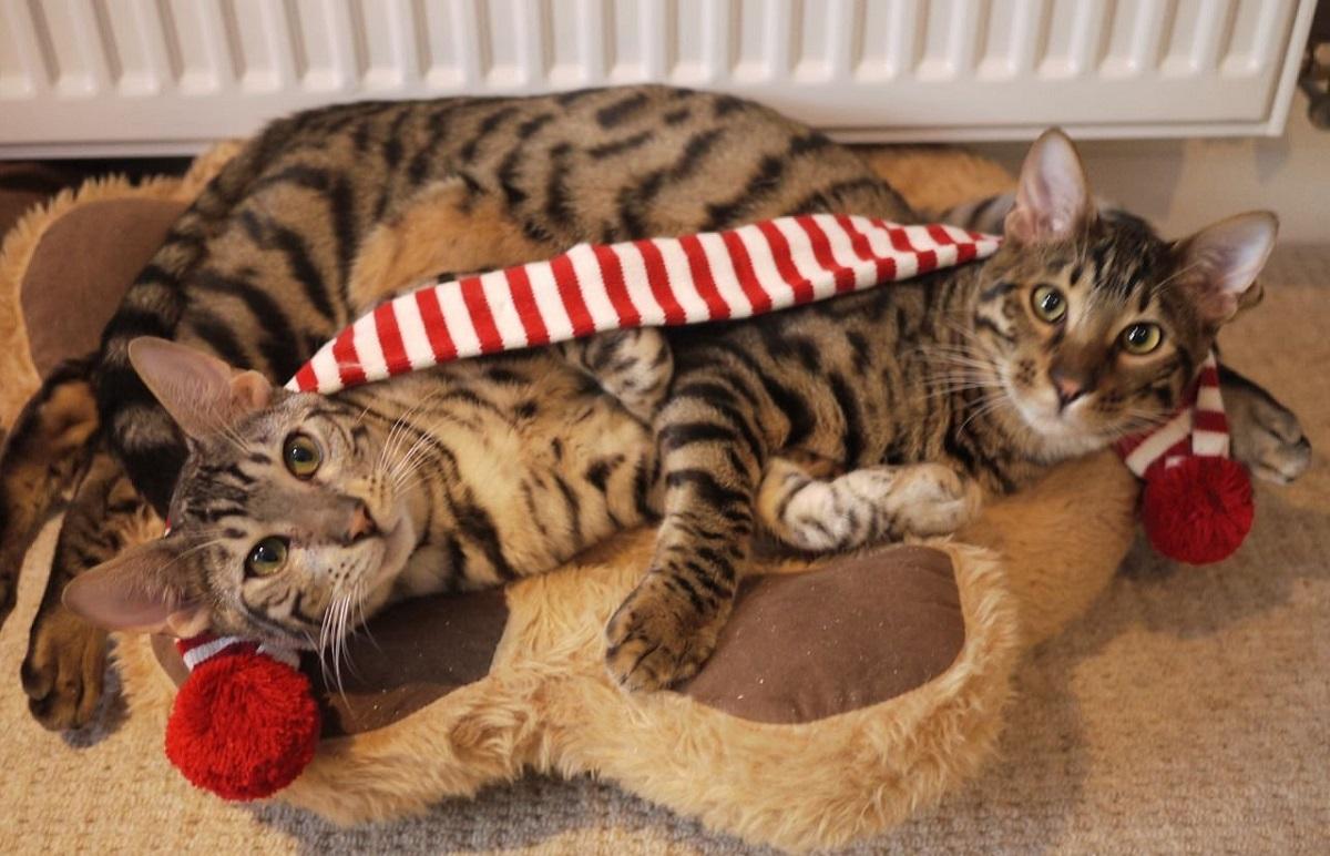 due gatti toyger giocano