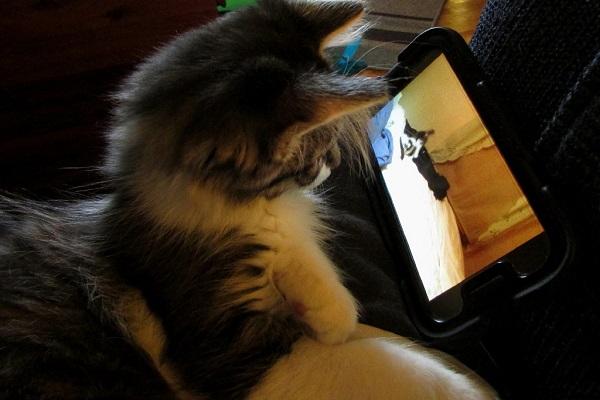 gatto guarda video