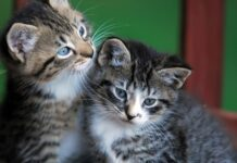 gattini tigrati