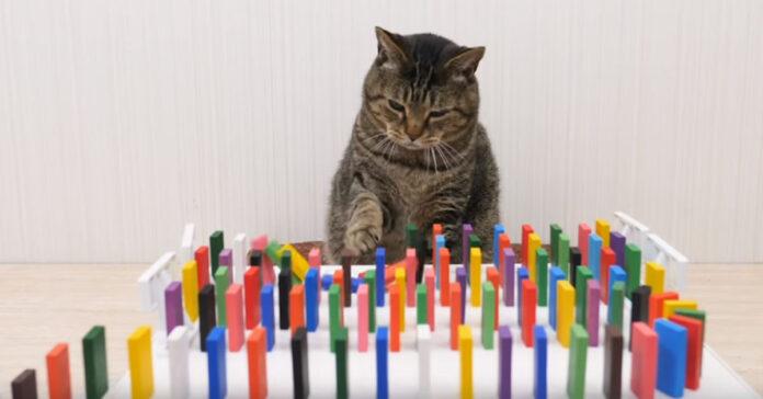 Gatto con domino