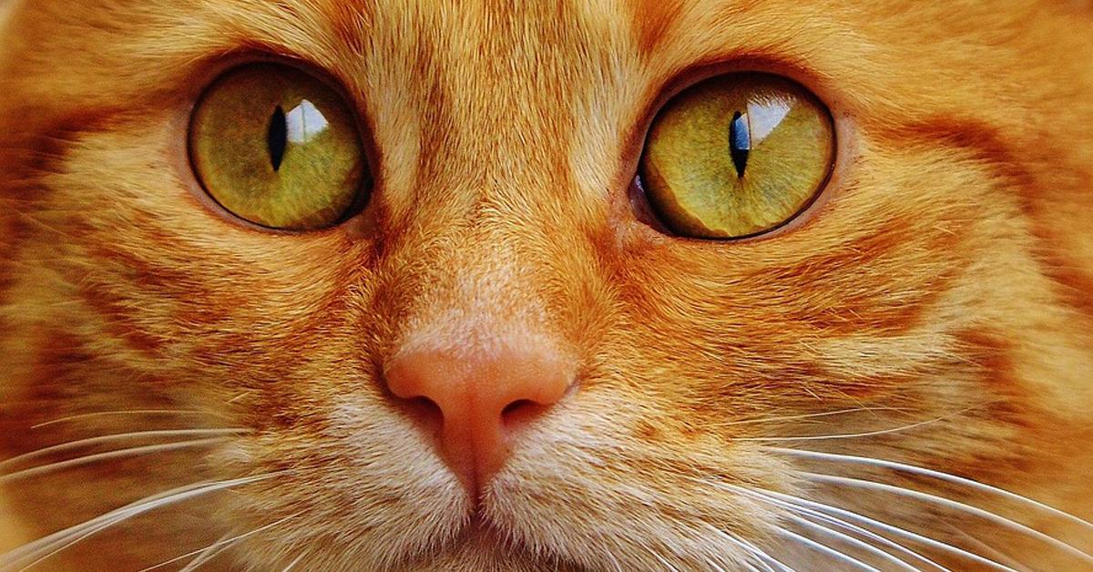Gatto rosso osserva