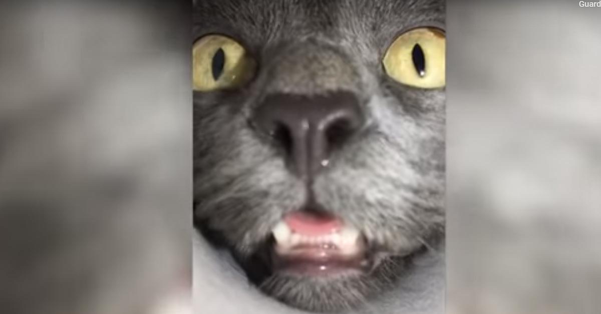 Primo piano gatto siberiano