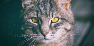 gatto e il fecov