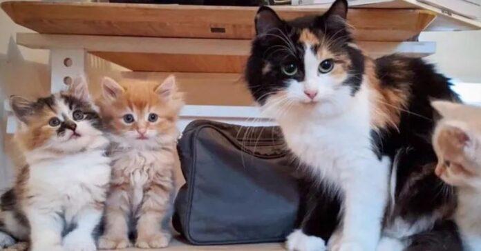 ciboulette gattino video