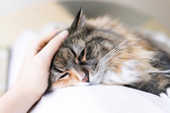 gatto anziano accarezzato