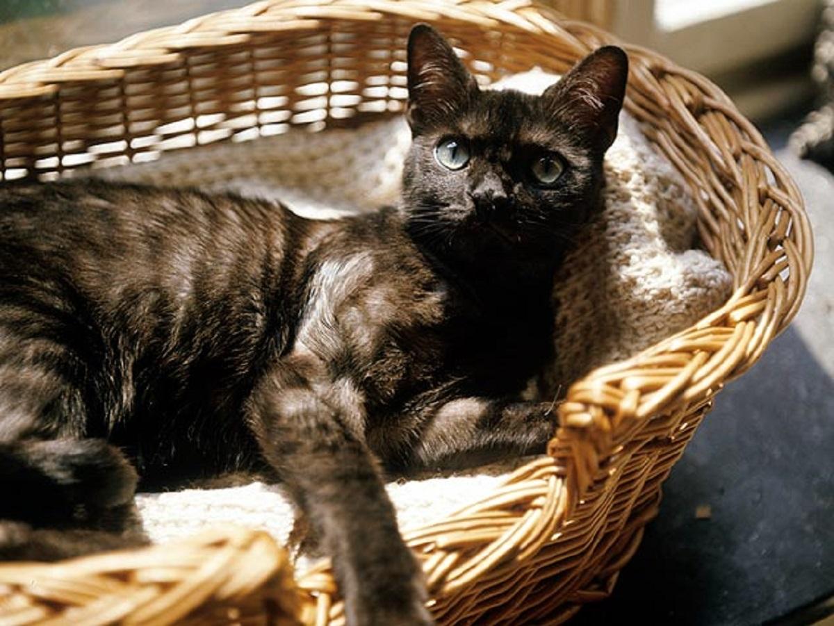 gatto anziano in cesta
