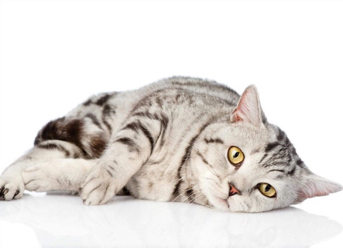 gatto anziano sdraiato