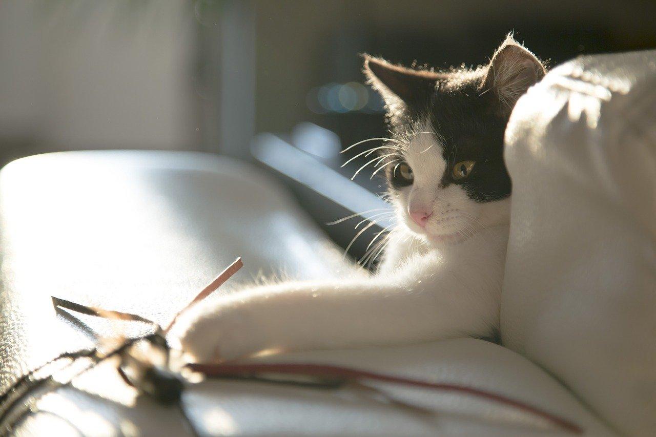 gatto-bianco-nero