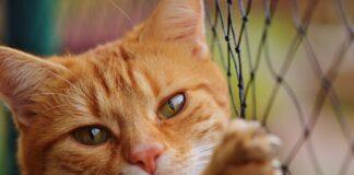 gatto soriano rosso