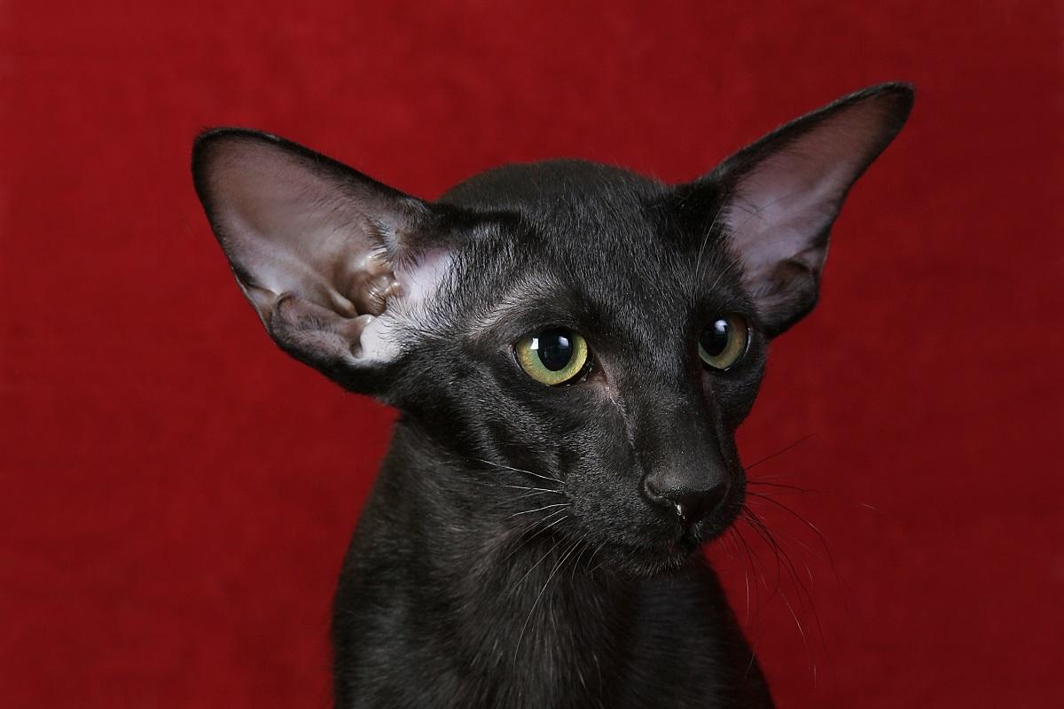 gatto orientale sfondo rosso