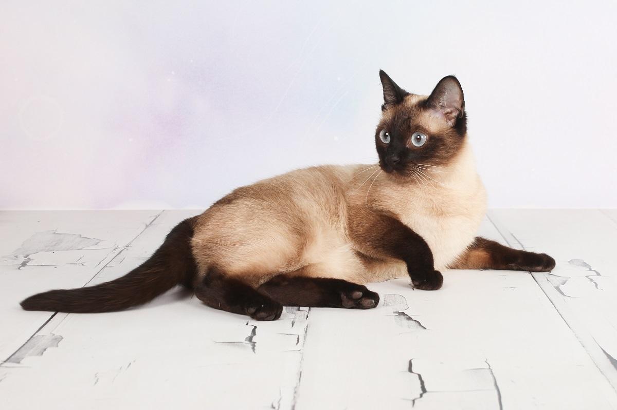 gatto thai