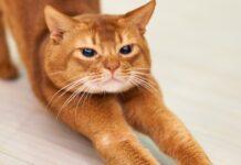 Gatto che si stiracchia