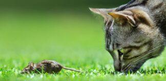 gatto che caccia topo