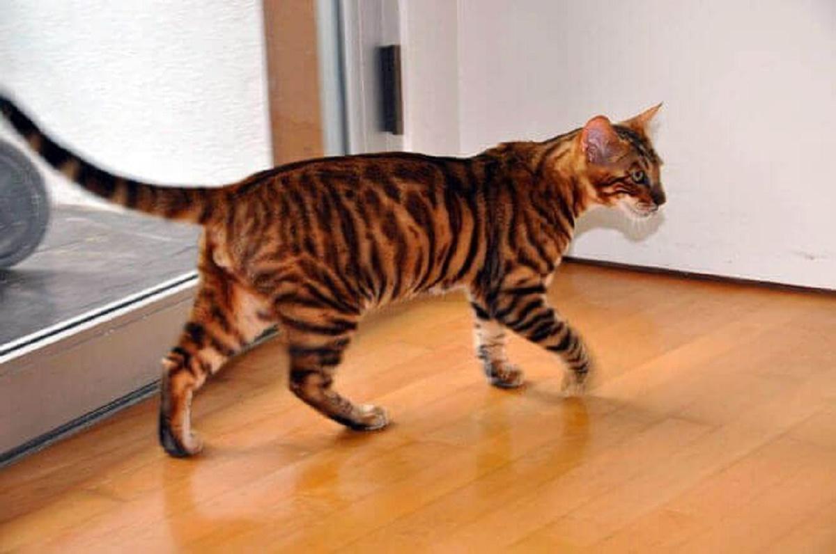 gatto toyger cammina per casa