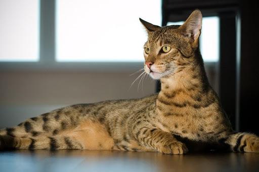 gatto ashera