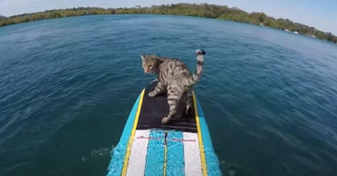bobo gattino surf