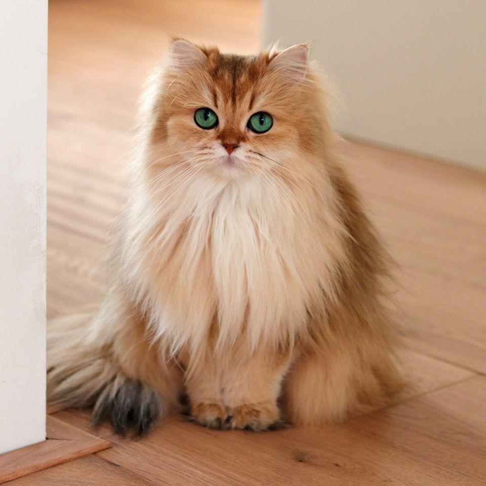 gatto british longhair