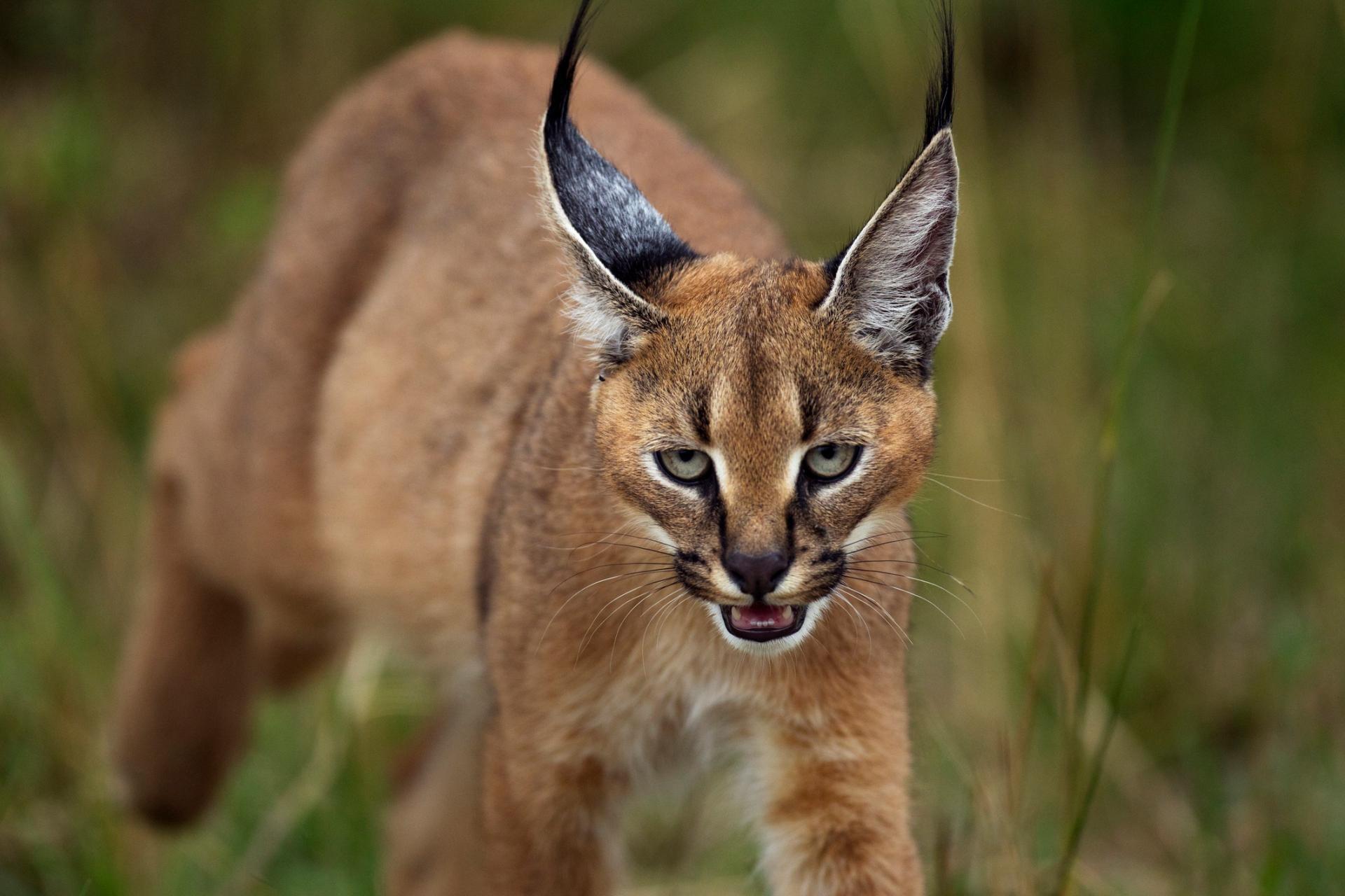 gatto selvatico Caracal nella vegetazione