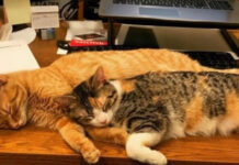 Gatti che dormono su una scrivania