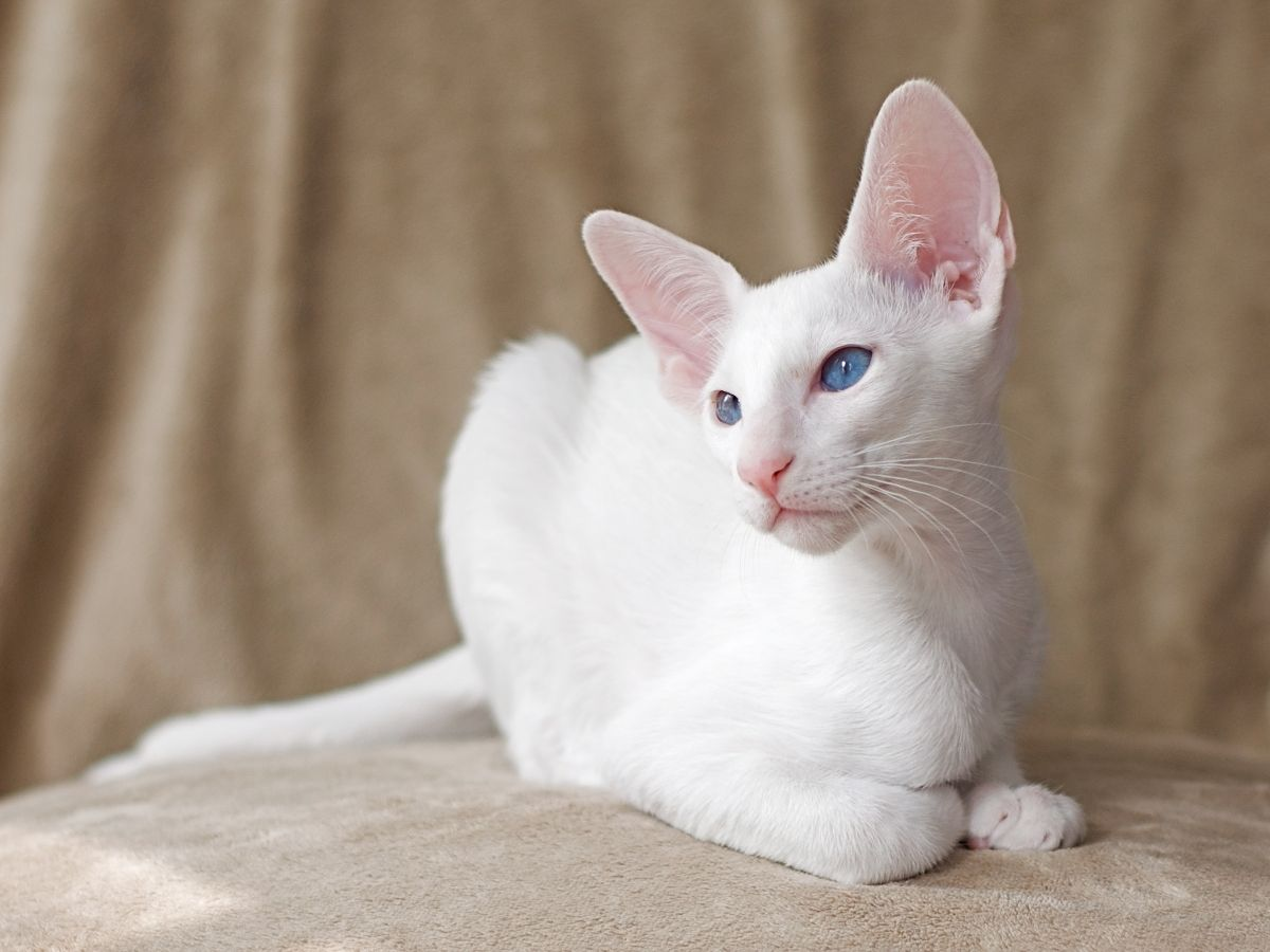 gatto Foreign White