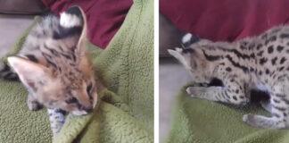 Gattino Savannah lotta con una coperta