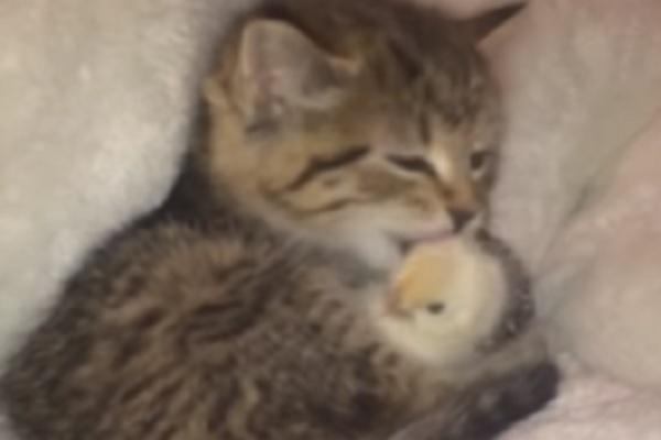 gattino e pulcino