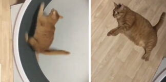 Gattino corre su una ruota