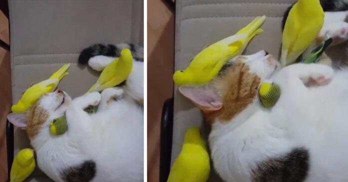 Gatto che dorme con dei pappagalli