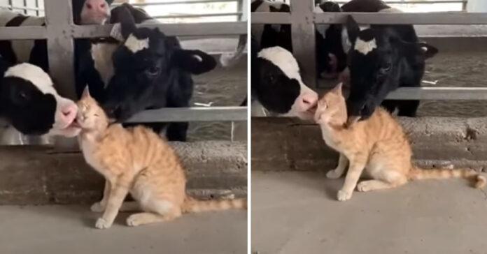 Gatto con delle mucche