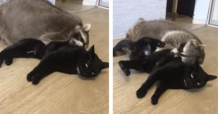 Gatto con un procione