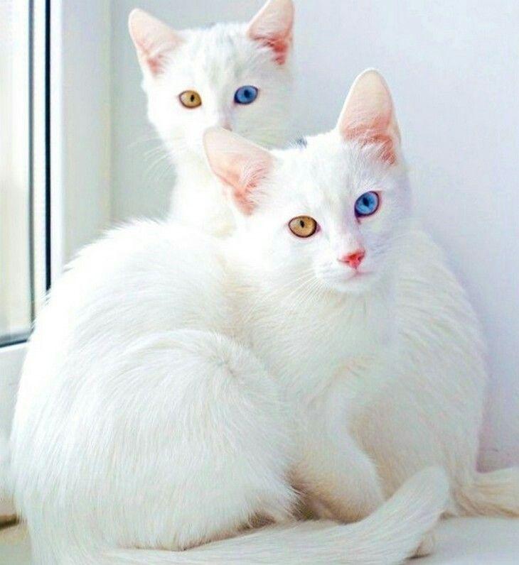 gatto Khao Manee