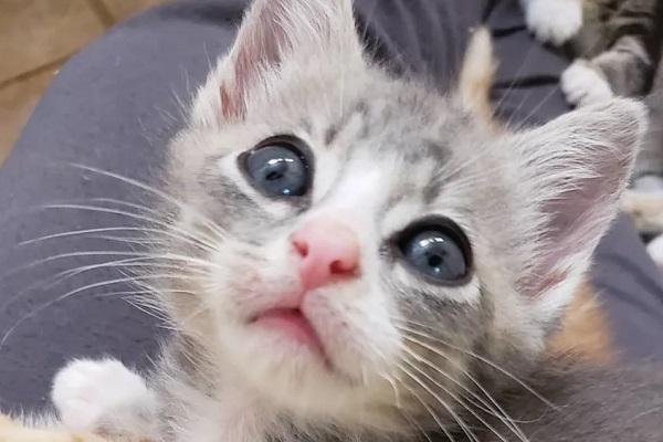 mustang gattino