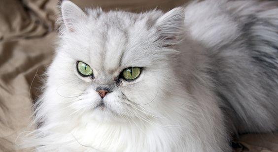 gatto del Persiano Chinchillà