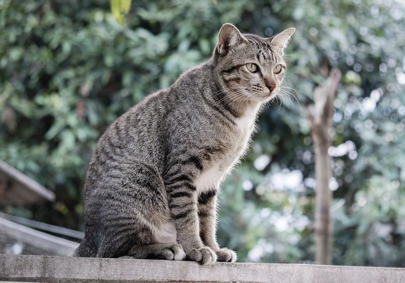 gatto Pixie Bob