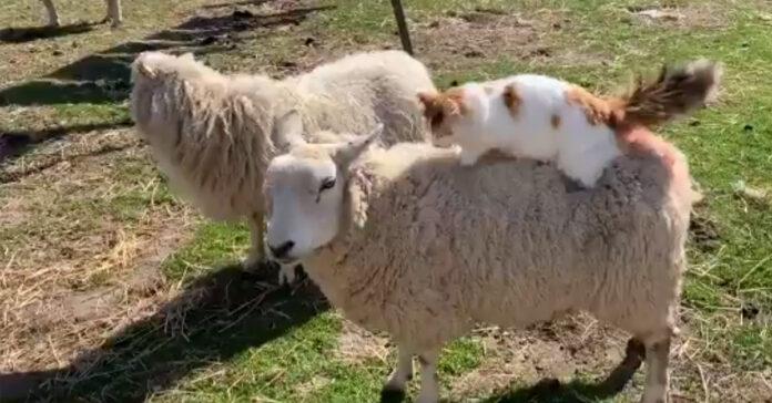 Gatto su una pecora