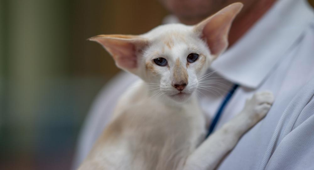 gatto Seychellois