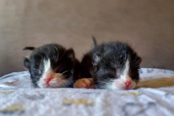 shiro gattino