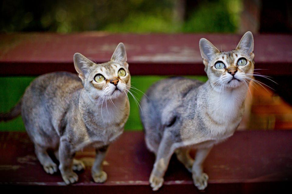 gatto Singapura
