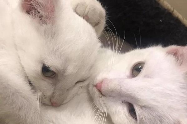 snowball gattino bianco