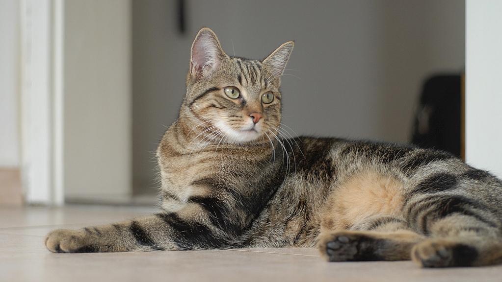 gatto Sokoke