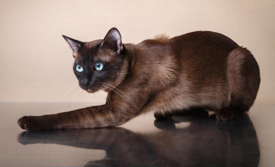 gatto Tonchinese