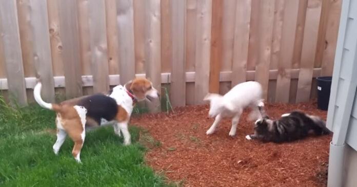 Gatto capra e cane che giocano
