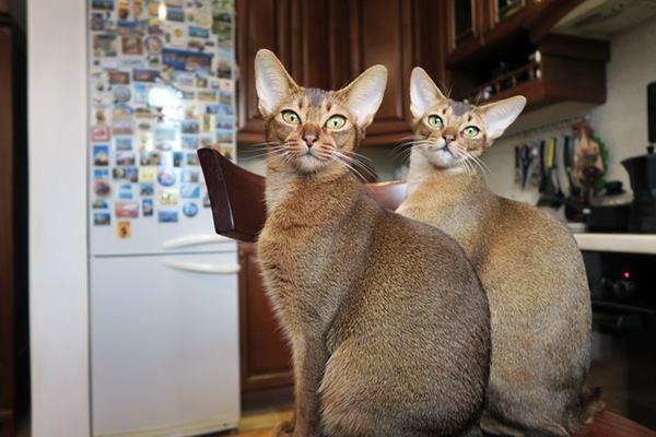 due gatti abissini