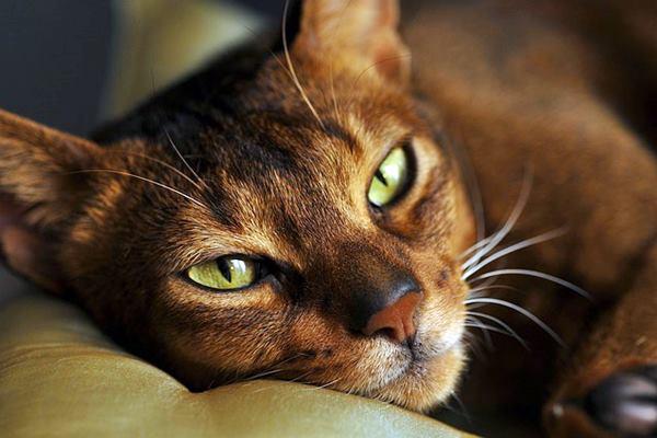 abissino con gli occhi verdi