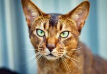 sguardo del gatto Abissino